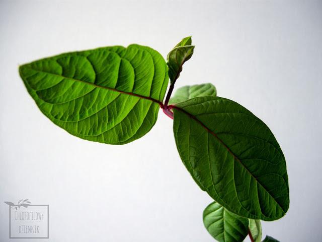 Gujawa pospolita, inaczej gruszla właściwa (psidium guajava) - opis i uprawa w domu w doniczce. Informacje na temat gujawy - pochodzenie, historia, nazwa, pielęgnacja, zdjęcia. Jak podlewać gujawę? Jak dbać o gruszlę?