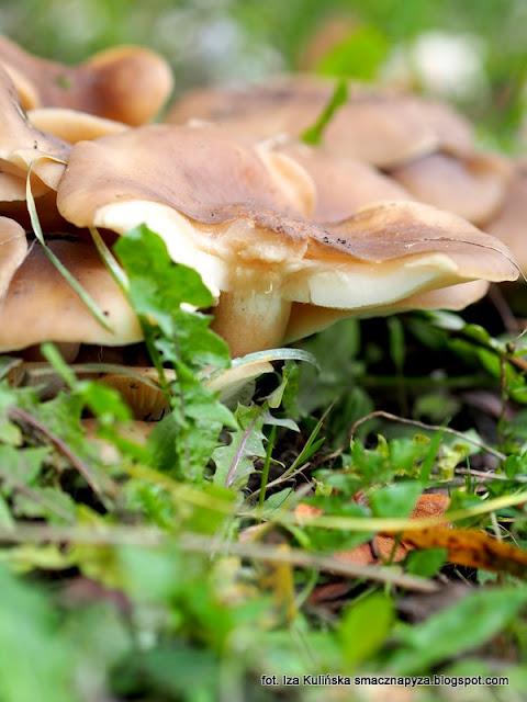 kepkowiec jasnobrazowy, grzyby gatunkami, atlas grzybow, grzyby jadalne, grzybobranie, na grzyby, grzybek, grzyb