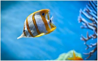 صور أسماك ملونة HD