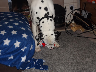 dalmation playing with dog toy
