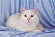 تعرف على القطط ذو الشعر الطويل (Longhair)