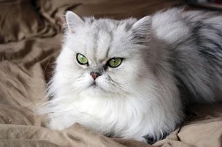 Gambar Kucing Persia Lucu 10006