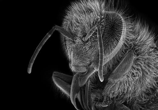 Γνωρίζεις ότι και οι μέλισσες έχουν αυτιά;