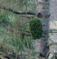 Balai de sorcière - Forêt de Cheverny