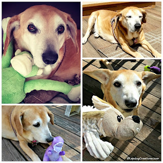 rescued senior hound mix dog with toys