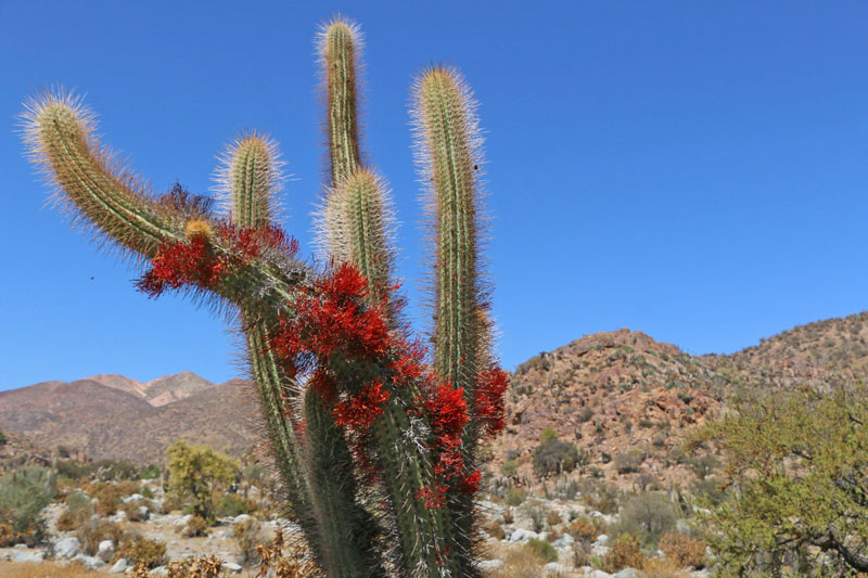 cactus-vallee-limari-elqui-chili-roadtrip