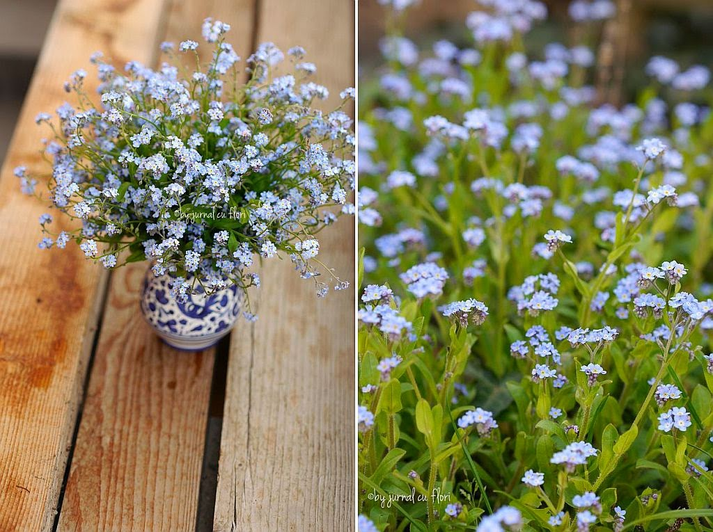 flori de nu-ma-uita buchet in vas albastru, forget-me-not flower bouquet