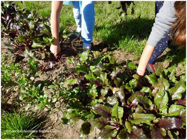 Alumnos recolectando el producto de su siembra - Chacra Educativa Santa Lucía