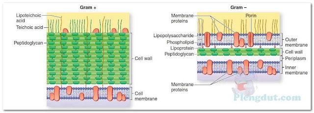 Differences between Gram-negative and Gram-positive cell walls. The relatively thin Gram-negative cell wall contains a thin layer of peptidoglycan, an outer membrane, and lipopolysaccharide (LPS). The thicker Gram-positive cell wall contains a thick layer of peptidoglycan and teichoic and lipoteichoic acids. (From Engleberg NC, et al. Schaechter's Mechanisms of Microbial Disease. 5th ed. Philadelphia, PA: Lippincott Williams & Wilkins; 2013.)