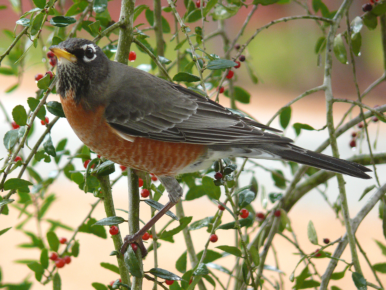 All About Animal Wildlife: American Robin Facts and Photos ...