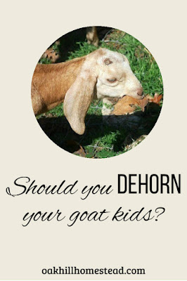Should you dehorn your goat kids? Why my goats don't have horns.