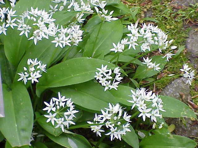 Mature wild garlic plant in white flower