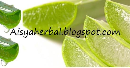 Image Result For Manfaat Campuran Lidah Buaya Dan Minyak Zaitun