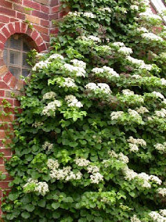 The climbing hydrangea may never be planted.