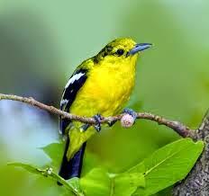 Burung Cipoh