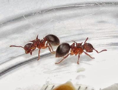 Meranoplus mucronatus