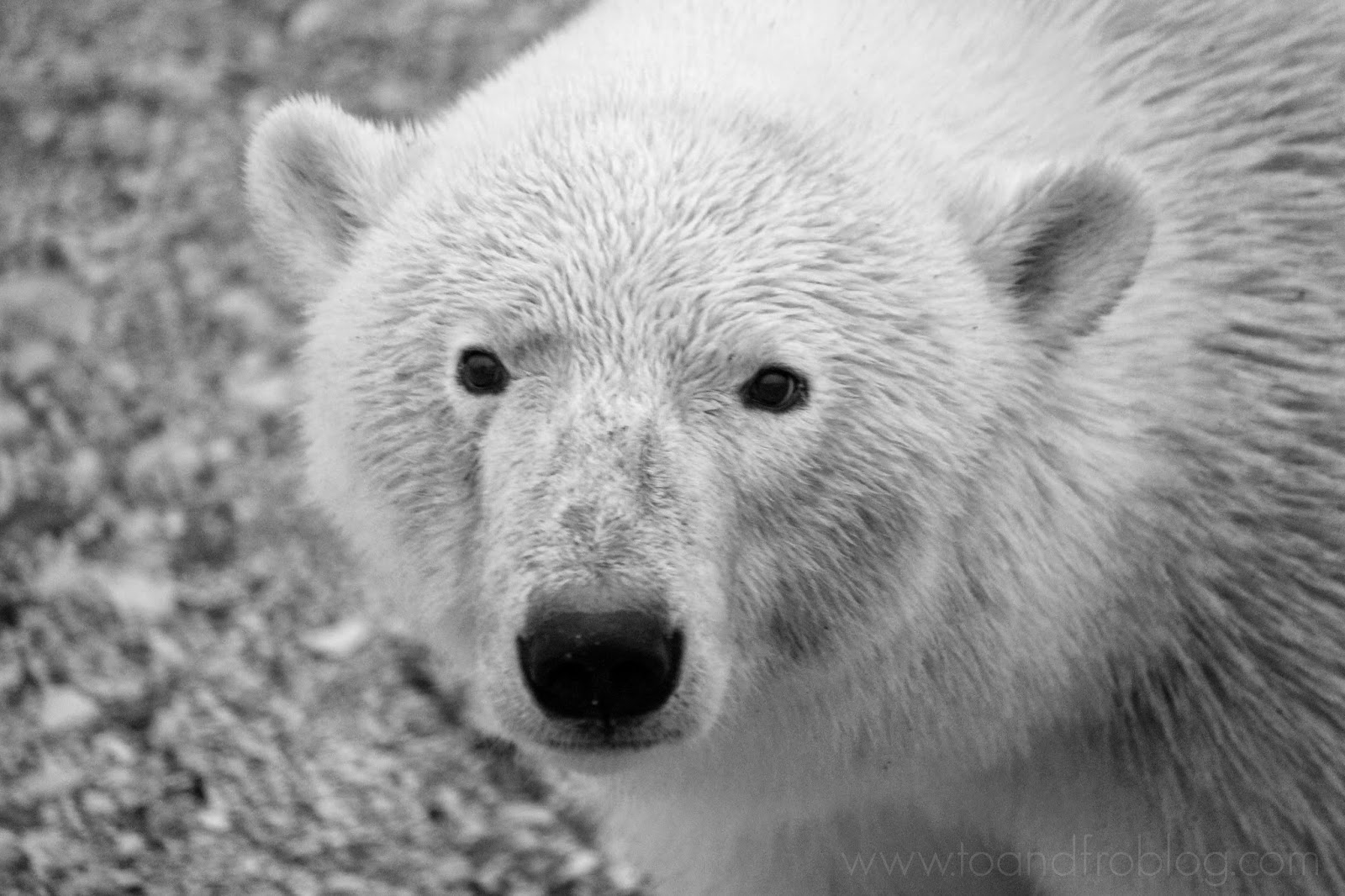 International Polar Bear Day - Polar Bear Facts