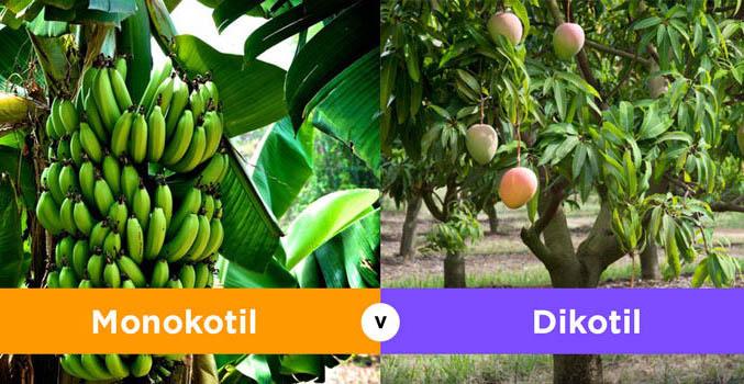 Perbedaan Monokotil dan Dikotil Pada Tumbuhan