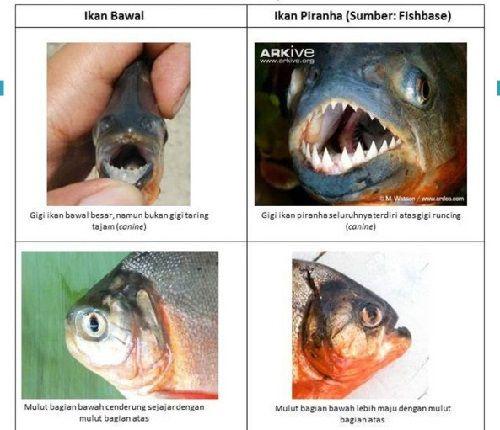 Pakan Ikan Bawal Selain Pelet