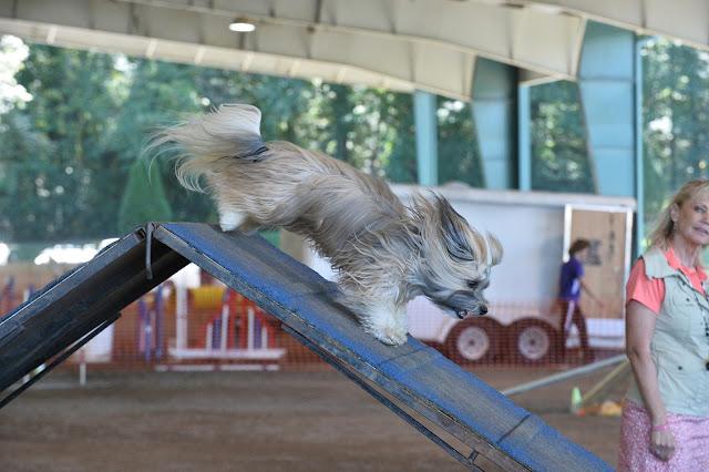 Rocco Havanese dog agility a-frame