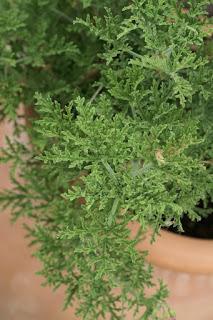 Pelargonium x blandfordianum 'Roseum'