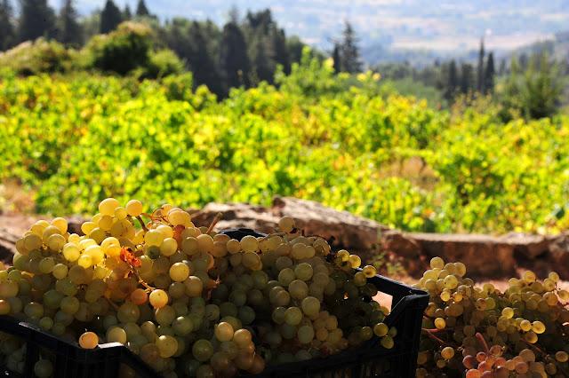 «Φρένο» ξανά στην ανάπτυξη του κρασιού - Σκούρας: Δεν πληρούσα τα κριτήρια του υπουργείου
