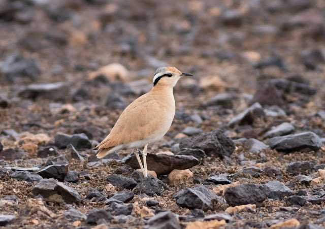 Cream-coloured Courser - Fuerteventura