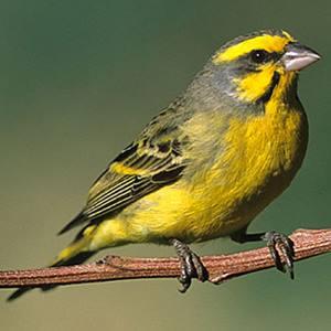 Kabar Terbaru 5 Ciri Ciri Burung Mozambik Jantan Dan Betina Yang Akurat Kabarterbaru Co