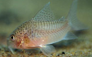 Jenis Ikan Corydoras polystictus
