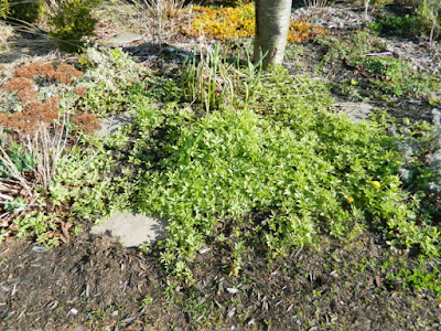 Toronto Birch Cliff spring garden cleanup goutweed removal before by Paul Jung Gardening Services Inc