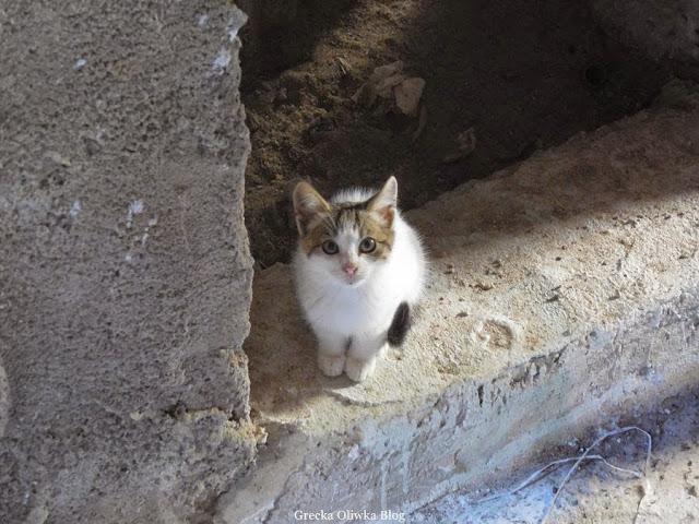 grecki kotek, białoszary mały grecki kot