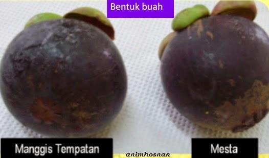 different Mangosteen variety called 'mesta'