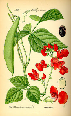 A botanical illustration of a runner bean plant