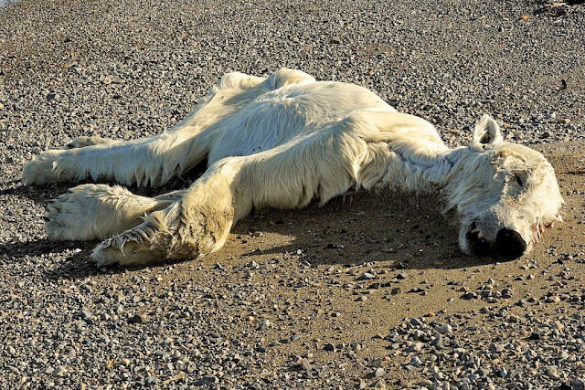 Image result for images of dead polar bears