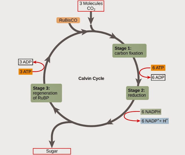reaksi gelap, siklus calvin