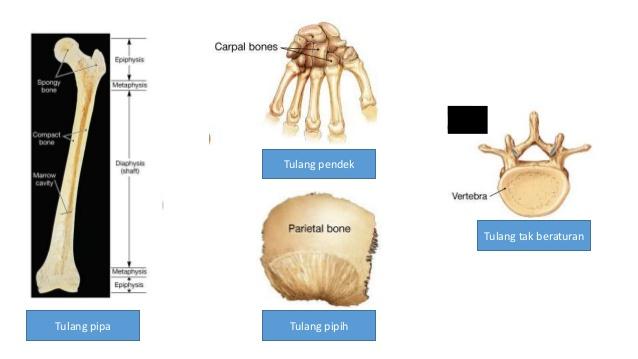 Macam-macam Tulang