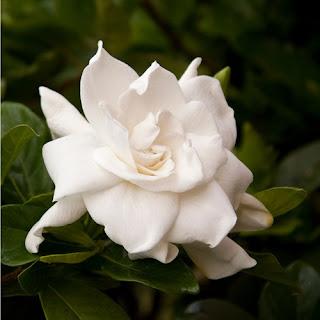 bunga-gardenia-surabaya01