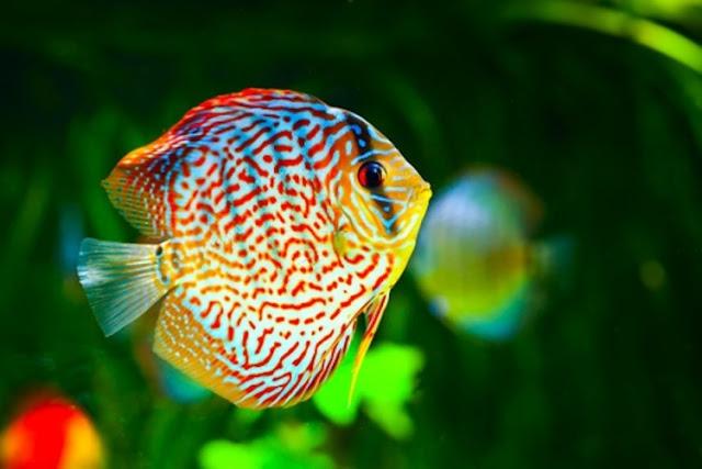 Dunia Ikan Hias - IKAN DISCUS