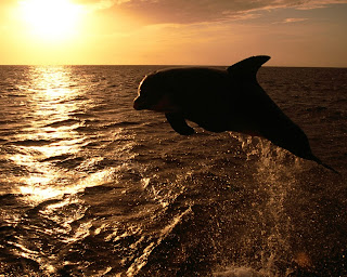 Dolphin and Sunset wallpaper