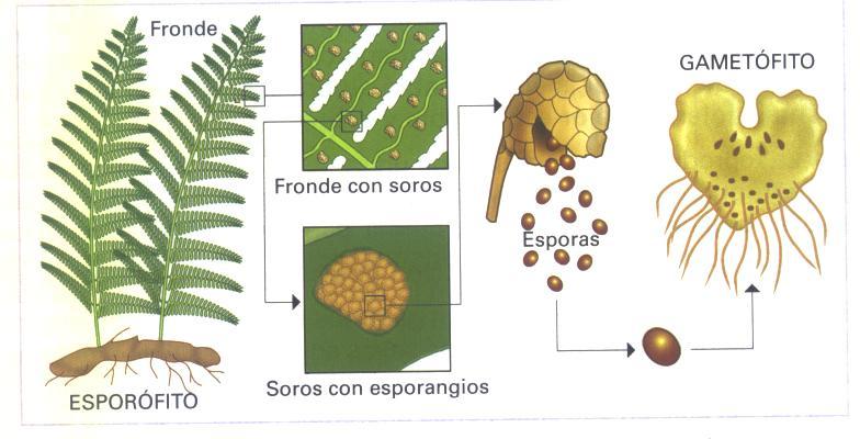 Reproduccion asexual de los helechos plantas