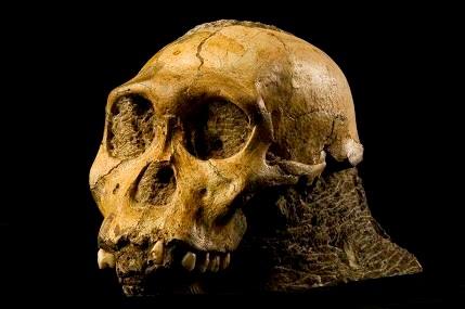 Cráneo holotipo de Australopithecus sediba