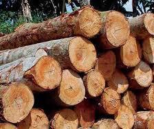 gambar batang kayu jabon