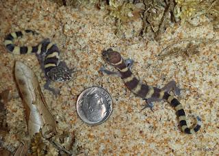 PA Gecko Coleonyx Brevis Dime