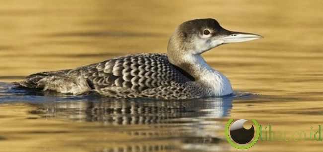 Burung Camar jenis European Herring