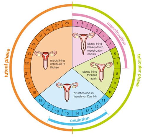 keadaan rahim semasa kitaran haid wanita
