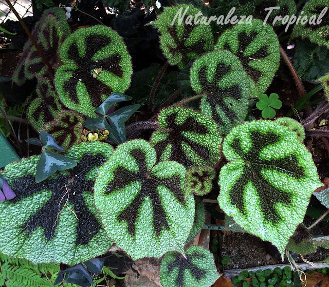 Begonia masoniana, Cruz de hierro