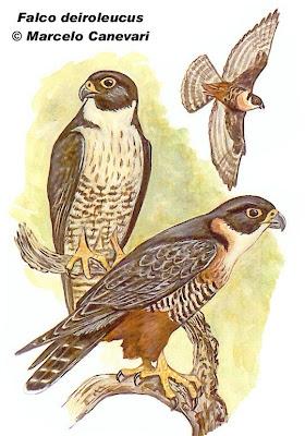 Halcón negro grande Falco deiroleucus