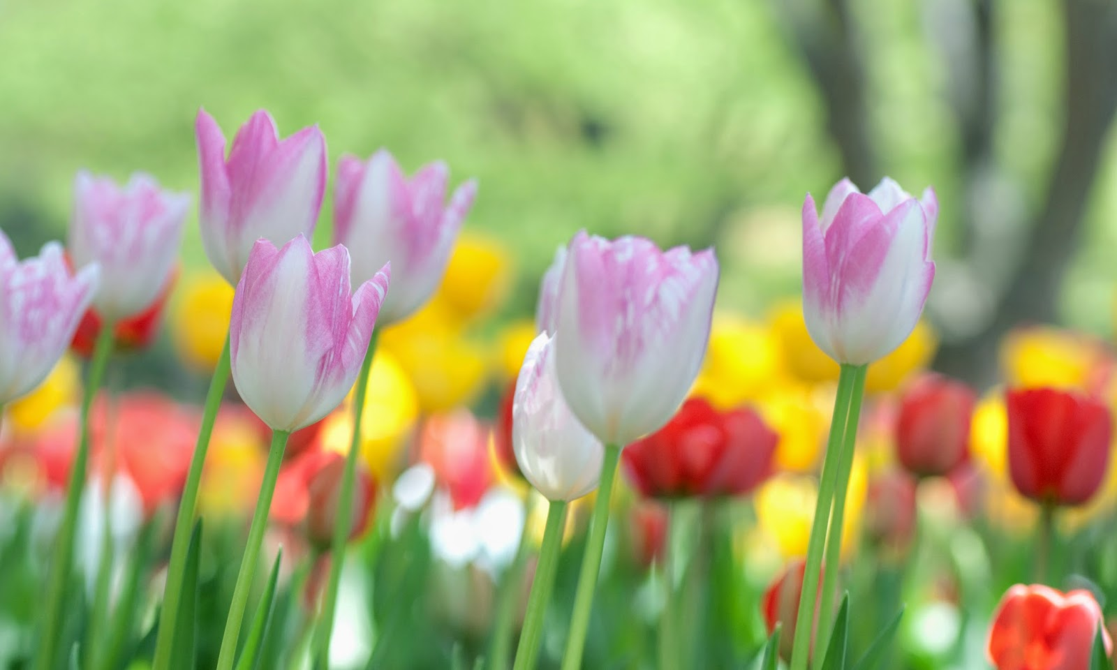 Tulips HD Wallpapers Free Download #0213