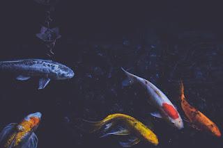 Kelebihan dan Kekurangan Usaha Budidaya Ikan Koi