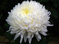 Beyaz kasımpatı çiçeği